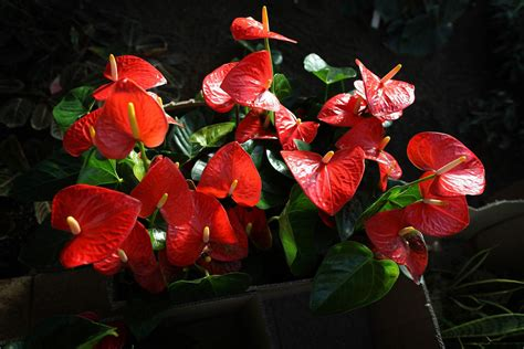 Top Houseplants With Red Flowers